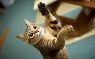 Лазерная указка для кошек: веселье и опасность в одном флаконе