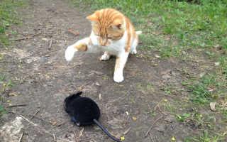 Мышь на радиоуправлении. Как будут реагировать коты и собаки?