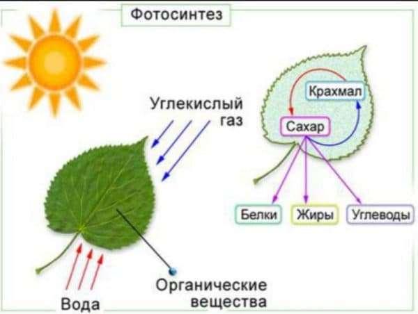 osnova-fotosinteza-600x452.jpg
