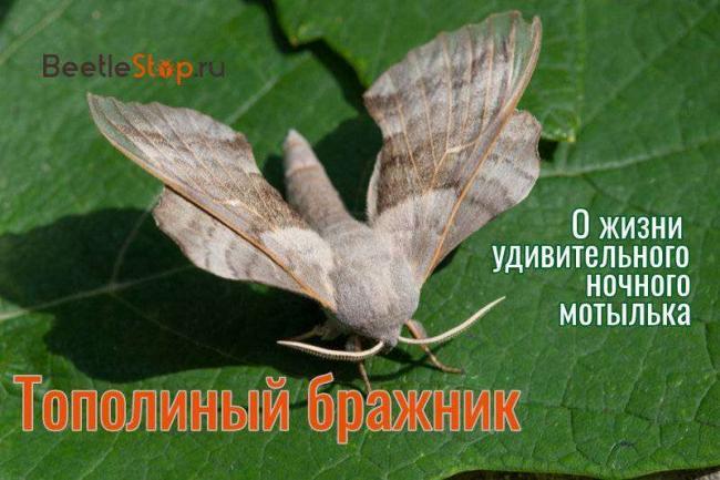 brazhnik-topolevyiy.jpg